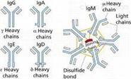 多巴胺受體D2抗體