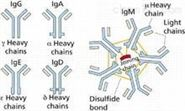 Optimedin抗原,嗅球蛋白3抗原