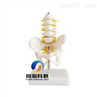 THM-115A小型骨盆带五节腰椎模型|骨骼