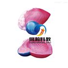 THM-317膀胱放大模型|解剖