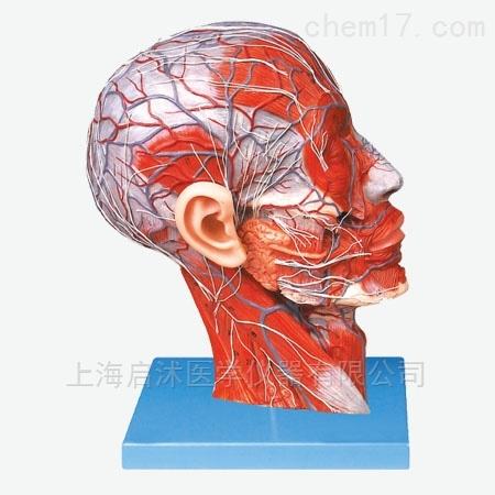 QS/A18210头部正中矢状切面附血管神经模型