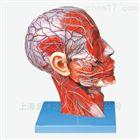 头部正中矢状切面附血管神经模型