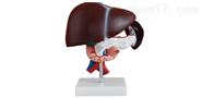 肝胰十二指肠模型2