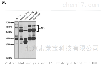 Anti-FAS Polyclonal Antibody