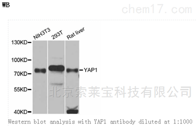 Anti-YAP1 Polyclonal Antibody
