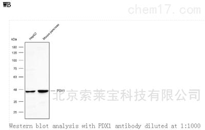 Anti-PDX1 Polyclonal Antibody