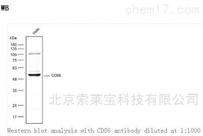 Anti-CD86 Polyclonal Antibody
