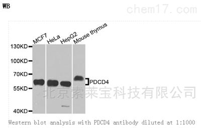 Anti-PDCD4 Polyclonal Antibody