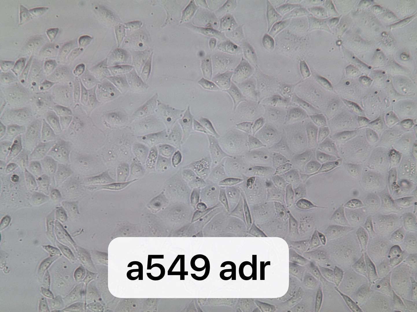 人肺癌阿霉素耐药株A549/ADR