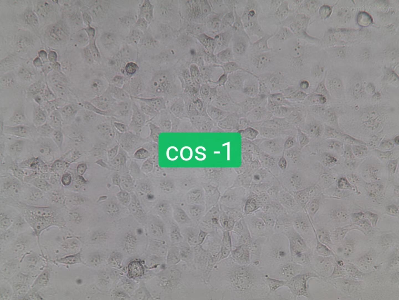 优惠细胞绿猴肾细胞COS-1